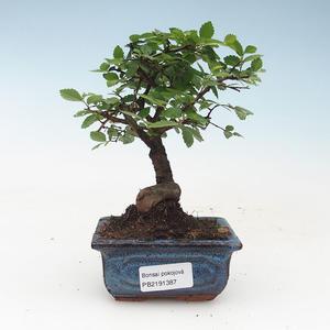 Kryty bonsai - Ulmus Parvifolia-Elm 414-PB2191387