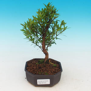 Pokój bonsai Syzygium - Fit