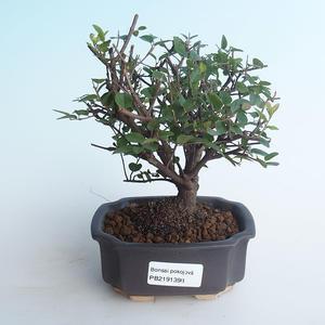 Kryty bonsai - Sagerécie thea - Sagerécie thea 414-PB2191398