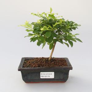 bonsai Room - Duranta erecta Aurea