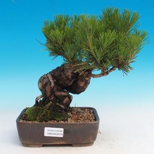 Pinus thunbergii - Sosna thunbergova