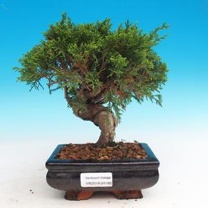 Outdoor bonsai - Juniperus chinensis Itoigava - chiński jałowiec