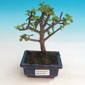 bonsai Room - Portulakaria Afra - Tlustice