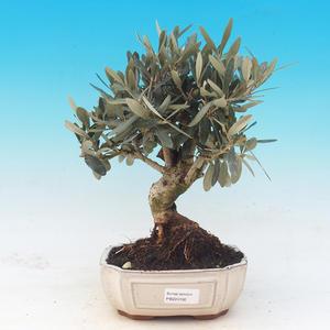 bonsai Room - Olea europaea - Europejska Oliva