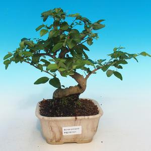Pokój bonsai-Pinus halepensis-Aleppo Sosna