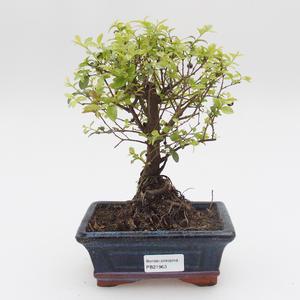 Pokój bonsai - Sagetie thea - Sagetie thea