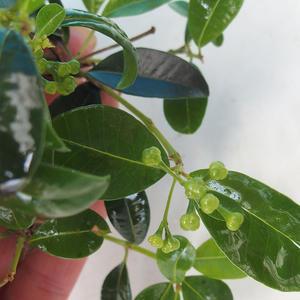 Pokój bonsai - Eugenia unoflora - australijska wiśnia