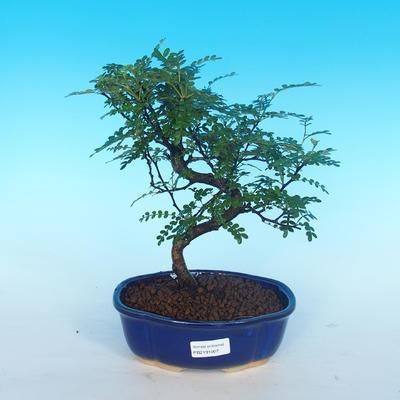 Pokój bonsai - Zantoxylum piperitum - Pepřovník - 1