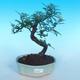 Pokój bonsai - Zantoxylum piperitum - Pepřovník - 1/4