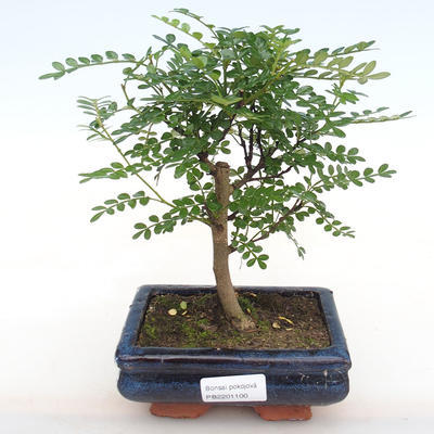 Room bonsai - Zantoxylum piperitum - Pepper Tree - 1