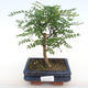 Room bonsai - Zantoxylum piperitum - Pepper Tree - 1/4