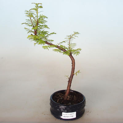 Outdoor bonsai - Metasequoia glyptostroboides - Chinese Metasequoia - 1