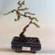 Outdoor bonsai-irga pozioma-irga VB2020-464 - 1/2
