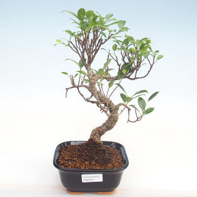 Kryty bonsai - kimono Ficus - ficus mały liść PB220053