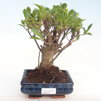 Kryty bonsai - Ficus retusa - ficus mały liść PB22071 - 1