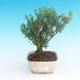 Pokój bonsai - Buxus harlandii-korek buxus - 1/4