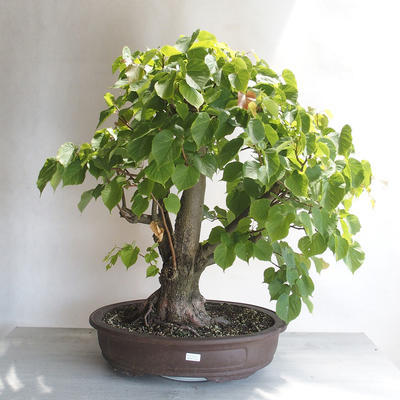 Outdoor bonsai - Lipa - Tilia cordata - 1