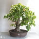 Outdoor bonsai - Lipa - Tilia cordata - 1/5