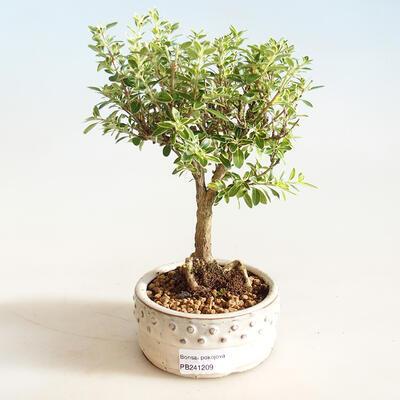Bonsai do wnętrz - Serissa foetida Variegata - Drzewo Tysiąca Gwiazd - 1