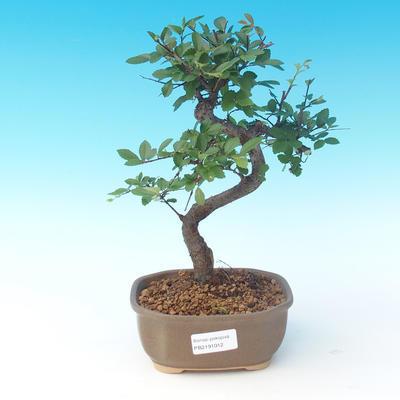 Kryte bonsai - Ulmus parvifolia - Mały wiąz - 1