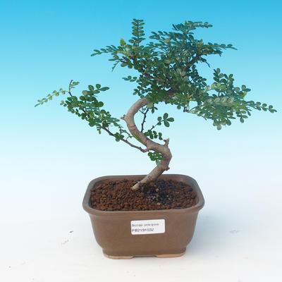 Room bonsai - Zantoxylum piperitum - Pepper Tree - 1