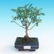 Indoor bonsai - Zantoxylum piperitum - Pepper Tree - 1/4