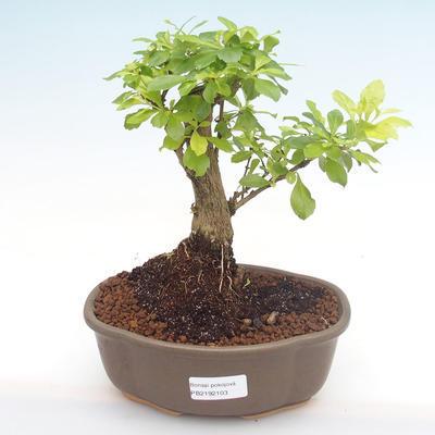 Pokój bonsai - Buxus harlandii-korek buxus - 1