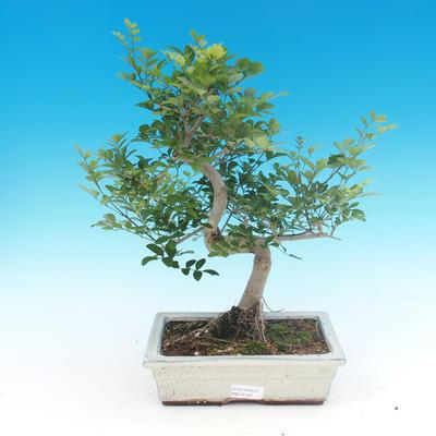 Bonsai pokojowe - Fraxinus uhdeii - popiół pokojowy - 1