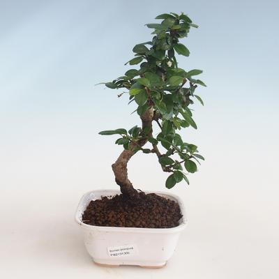 Kryty bonsai - Carmona macrophylla - Tea fuki PB2191305 - 1