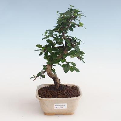 Kryty bonsai - Carmona macrophylla - Tea fuki PB2191309 - 1