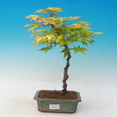 Acer palmatum Aureum - Klon dlanitolistý złota - 1