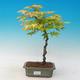 Acer palmatum Aureum - Klon dlanitolistý złota - 1/2