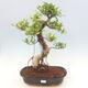 Kryty bonsai - Ficus kimmen - fikus drobnolistny - 1/2