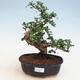 Pokój bonsai - Carmona macrophylla - Tea fuki - 1/5