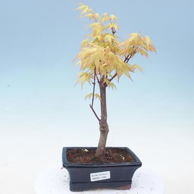 Outdoor bonsai - Acer pal. Sango Kaku - klon palmowy - 1