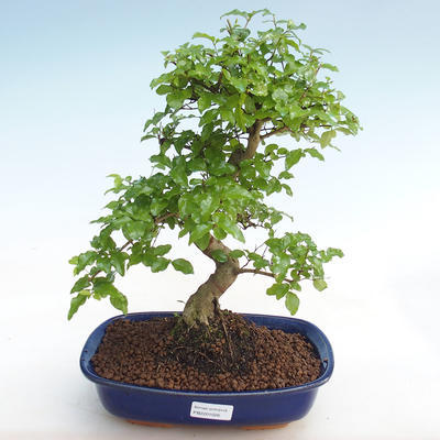 Kryty bonsai -Ligustrum chinensis - Privet PB22089 - 1