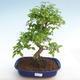 Kryty bonsai -Ligustrum chinensis - Privet PB22089 - 1/3