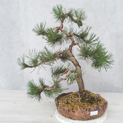 Outdoor bonsai - Pinus Mugo - Sosna klęcząca - 1