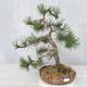 Outdoor bonsai - Pinus Mugo - Sosna klęcząca - 1/4