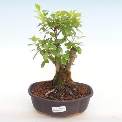 Kryty bonsai - Duranta erecta Aurea PB2201039 - 1