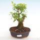 Kryty bonsai - Duranta erecta Aurea PB2201039 - 1/3