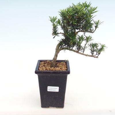 Kryty bonsai - Podocarpus - Cis kamienny PB2201043