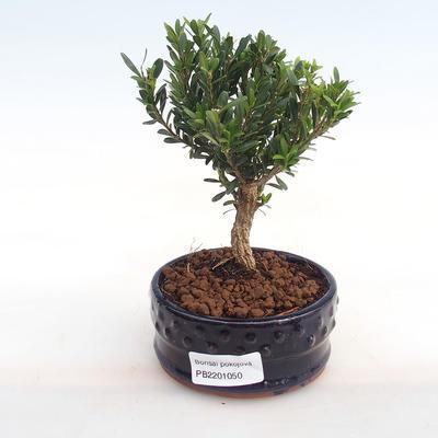 Kryty bonsai - Buxus harlandii - korek buxus PB2201050 - 1