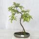 Outdoor bonsai - Prunus spinosa - Tarnina - 1/2