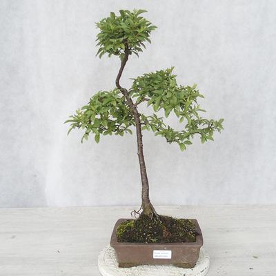 Outdoor bonsai - Prunus spinosa - Tarnina - 1