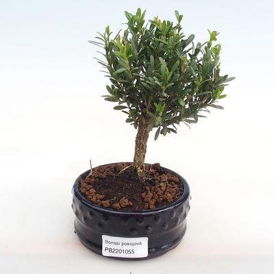 Kryty bonsai - Buxus harlandii - korek buxus PB2201055 - 1