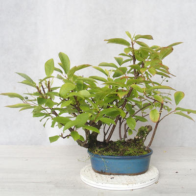 Outdoor bonsai - czeremcha - Prunus padus - 1