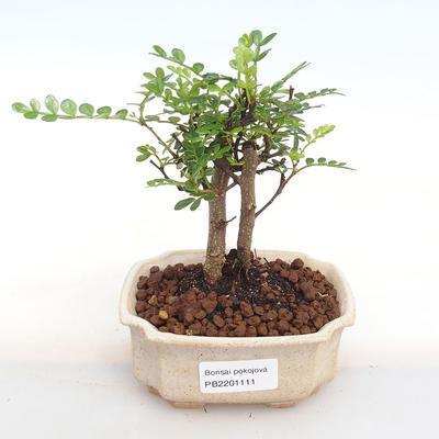 Kryty bonsai - Zantoxylum piperitum - Papryka PB2201111 - 1