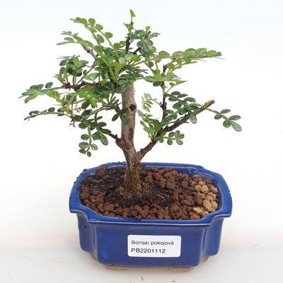 Kryty bonsai - Zantoxylum piperitum - Papryka PB2201112 - 1