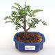Kryty bonsai - Zantoxylum piperitum - Papryka PB2201112 - 1/5
